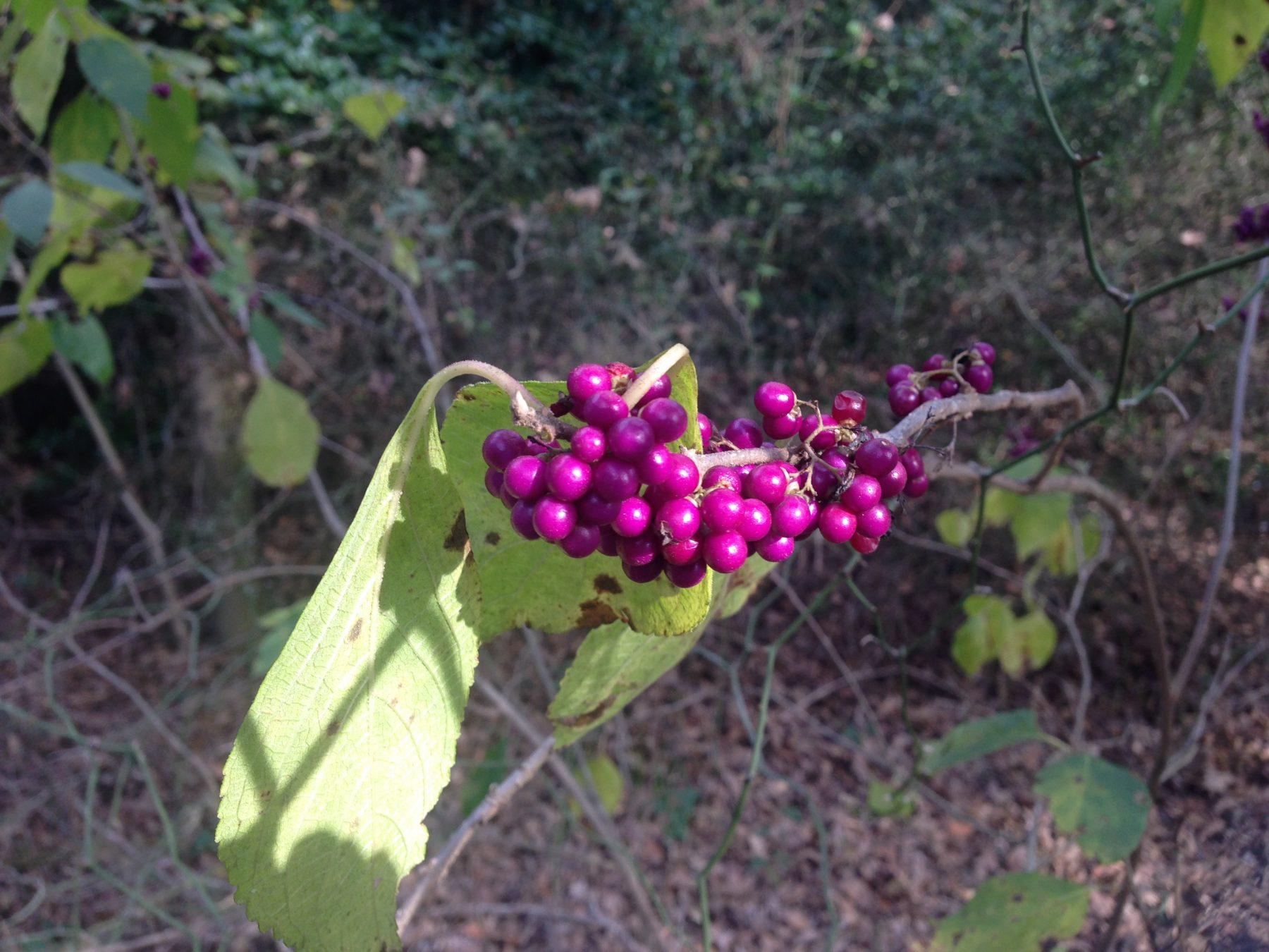 Berries Route 45