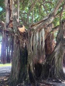 Tree FL St Petersburg 2017