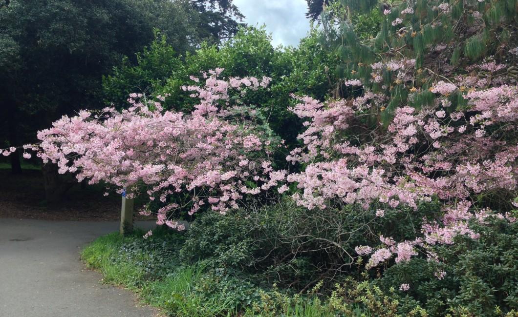 Cherry Blossoms, GG Park, San Francisco, CA